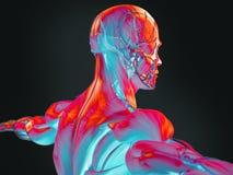 Termisk illustration 3D av mänsklig anatomi Royaltyfri Fotografi