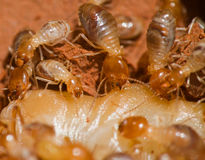 termit Obrazy Stock