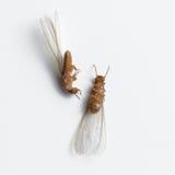 Termit biała mrówka nieżywa Zdjęcia Stock