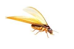 Termit biała mrówka odizolowywająca Fotografia Stock