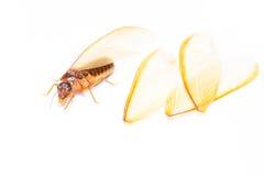 Termit biała mrówka odizolowywająca Obrazy Stock