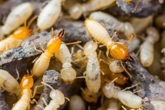 Termit eller vita myror Arkivfoton