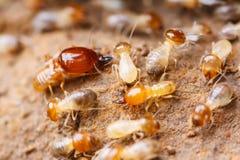 termita Foto de archivo libre de regalías