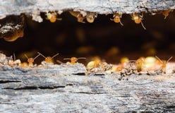 termita Fotografía de archivo
