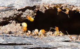 termita Imágenes de archivo libres de regalías