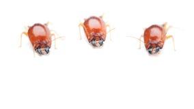 termita Imagen de archivo
