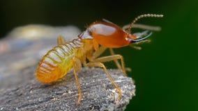 termita Foto de archivo