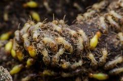 termita Imagen de archivo libre de regalías
