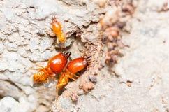 Termite Photo stock