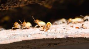 termite Images stock