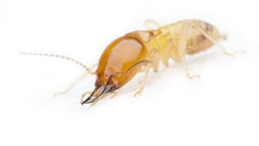 termite Arkivbilder