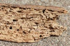 Termite beschädigte das Bauholz, welches die Löcher und Tunnels hergestellt wurden durch das Anflehung zeigt stockbild