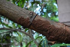 Termite damage. Closeup photograph of termite mud tubes on the branch of a tree royalty free stock photos