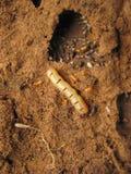Termite de la Reine à l'entrée de son nid, Pune, maharashtra photos stock