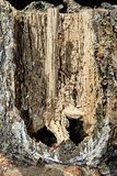 Termite Destruction Inside  Pine Tree trunk Stock Photography