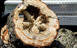 Termite Destruction Inside  Pine Tree trunk Stock Image