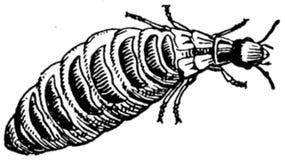 termite-femelle Royalty Free Stock Photos
