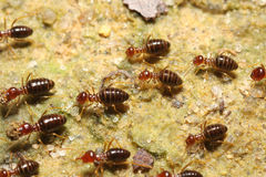 Termite group go back. Groups of termites transporting food Royalty Free Stock Photography