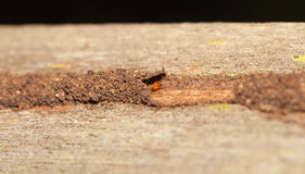Termite hide in their tunnel Royalty Free Stock Image