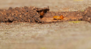 Termite hide in their tunnel Stock Images