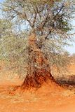 Termite hill African tree, Kalahari desert, Namibia. Termite hill in an African tree in the red sand, Kalahari desert, Namibia, Africa Stock Image