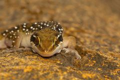 Termite hill geckos are fairly large geckos which bear distinct bands on their dorsum. Commonly found in and around termite mounds Stock Photos
