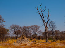 Termite hill in Okavango region Royalty Free Stock Photos