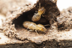 Termite macro. Royalty Free Stock Images