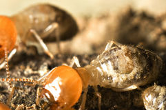 Termite Macro shot. Macro shot of termites inside their nest Stock Photo