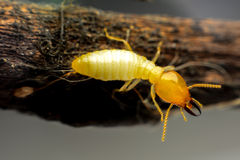 Termite macro Stock Photography