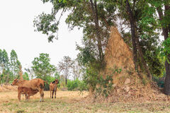 Termite mound. In the countryside of Si Sa Ket, Thailand stock images