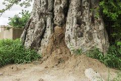 Termite mound. A termite mound built in a baobab tree Adansonia digitata, Ouagadougou, Burkina Faso Royalty Free Stock Photos