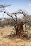 Termite mound in Kenya Stock Image