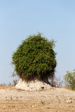 Termite mound overgrown with green bush Royalty Free Stock Images