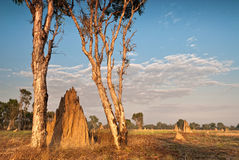 Termite mounds at dawn. Northern Territory, Australia Stock Photography