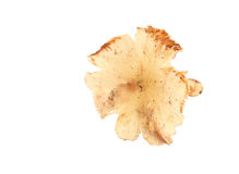 Termite mushroom on white background Royalty Free Stock Photo