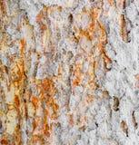 termite nest on bark Royalty Free Stock Photos