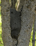 Termite nest nestled in a tree Stock Photography