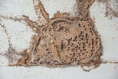 Termite nest. On white wooden wall of a room / Termite problem in house concept stock images