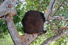 Termite nest on tropical tree