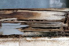 Termite nest at wooden wall, nest termite at wood decay window sill architrave, background of nest termite, white ant, background. The termite nest at wooden stock photos