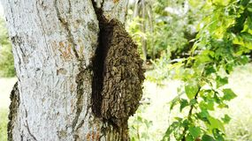 Termite nests. Termite nests is on a tree Royalty Free Stock Photography