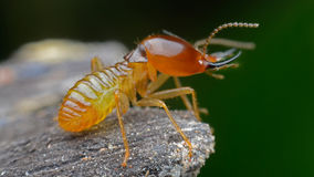 Termite. S eat wood as a danger to residents stock photo