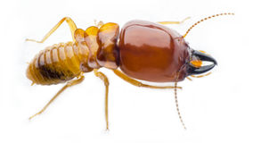 Termite Royalty Free Stock Images