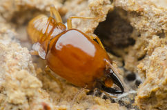 Termite. S eat wood as a danger to residents stock images