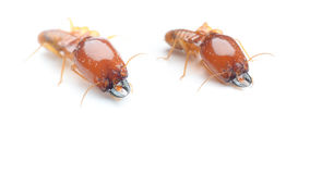 Termite. S are harmful to wood royalty free stock photo
