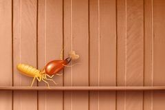 Termite, termites at wooden wall, termites and wood decay, texture wood with nest termite or white ant, background damaged. A termite, termites at wooden wall royalty free stock image