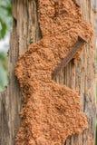 Termite on tree background. Orange Termite nest  on brown tree background Royalty Free Stock Image