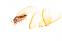 Termite white ant Isolated Stock Images