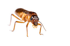Termite white ant isolated. Close up of termite white ant on white background stock image